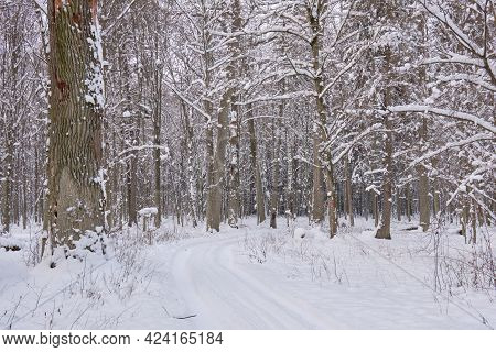 Wintertime Landscape Of Snowy Deciduous Stand In Snowfall, Bialowieza Forest, Poland, Europe