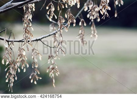 Backlit Winged Dried Maple Seeds Hanging Like Jewels From A Tree Branch In Fall. Nature Autumn Winte