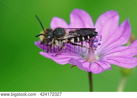 Closeup Of A Male Cleptoparasite Sharp-tailed Bee, Coelioxus Aurolimbatus , Posing On A Purple Flowe