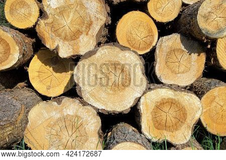 Pine Logs Are Stacked. Pine Log Ends. Pine Saw Cut.
