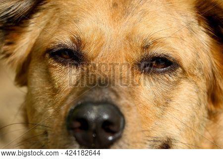 Extreme Close Up Head Portrait Of A German Shepherd Dog