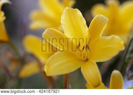 Yellow Flowers Of A Daylily, Hemerocallis Lilioasphodelus Close-up