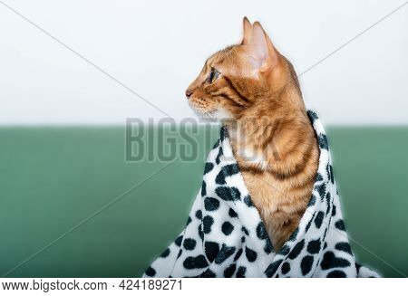 A Playful Bengal Cat Looks Out From Under A Soft Warm Spotted Blanket, Looks To The Side