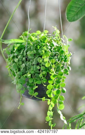 String Of Nickels Or Dischidia Nummularia Variegata Plant