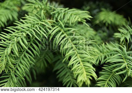 Conifer Branches And Needles In A Close-up Garden.