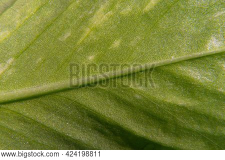 A Macro View Of Leaf Texture, Green Botany Flora