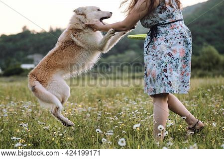 Girl In Blue Dress Stands In Field Of Daisies And Plays With Large White Dog. Half Breed Of White Sw