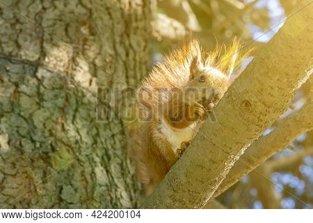 Squirrel With A Nut On The Tree . Funny Squirrel Whis A Nut . Sciurus. Rodent. A Squirrel Sits On A