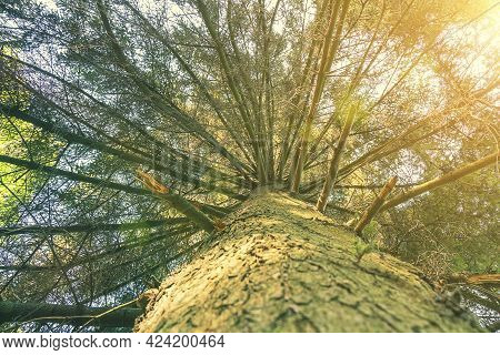 Tree Top Seen From The Bottom. Up View Of Tree And Sunlight Effect. Suns Rays Make Their Way Through