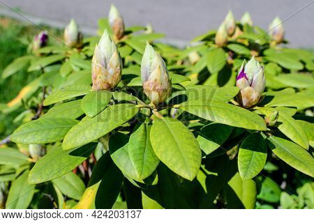 Bush Of Many Delicate Vivid Purple Flower Buds Of Azalea Or Rhododendron Plant In A Sunny Spring Sco