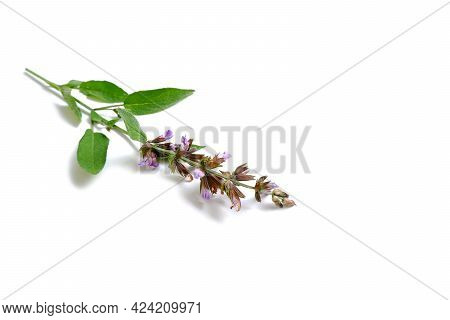 A Sprig Of Sage With Leaves And Flowers. Clary, Salvia.