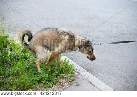 Brown Dog Pooping On The Street On Green Grass Lawn
