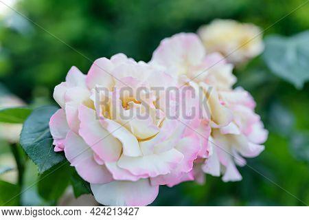 Peace Gloria Dei Hybrid Tea Rose In Summer Garden A Variety Of Roses Of The Tea-hybrid Class. Someti