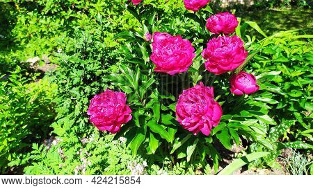 Shrub Of Terry Burgundy Peony In The Garden. Blooming Perennial Shrubs Of Peonies In Summer.