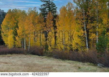 Glorious Display Of Yellow Leaves In The Autumn Of California, Usa,carson Pass Area, Featuring A Few
