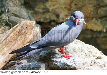 Close Up Of A Cute Inca Tern, A Grey Bird With White Whiskers