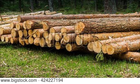 Logs Piled Up In The Forest. Fresh Logs. The Thinning Of The Forest. The Logging Timber Wood Industr
