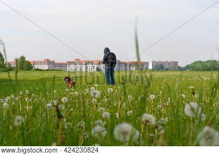 A Man Walks With A Dog. In The Middle Of A Green Field With Fluffy Dandelions Stands A Man And A Bro