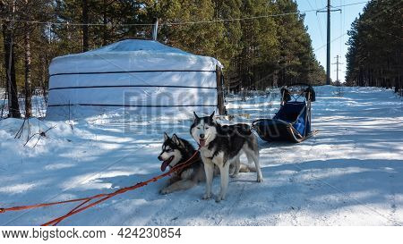Black And White Siberian Huskies Are Harnessed, Resting On A Snowy Road. Tongues Stick Out From Open
