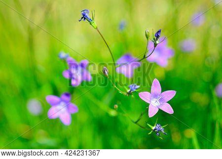 Nice Wild Flower Campanula Patula, Wild Flowering Plant, Beautiful Purple Spreading Bell Flower In B