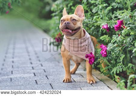 Red Fawn French Bulldog Dog With Pink Neckerchief Standing Next To Flowers