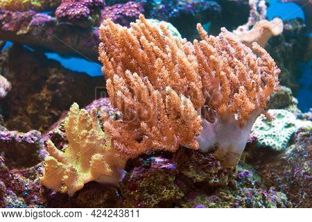 Bright Soft Corals Grow In The Shallows Where Currents Sweep Planktonic Food. This Region Is Extreme