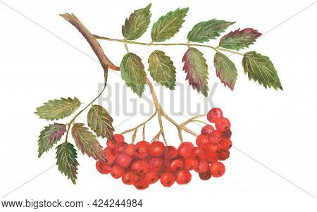 Mountain Ash Branch With Berries Isolated On White Background