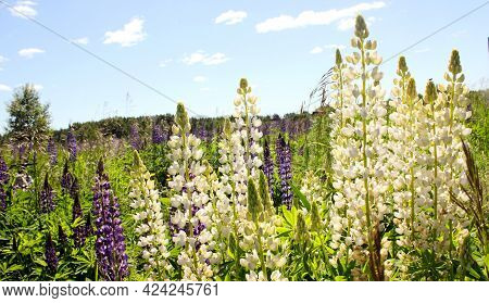 Lupin Spreads Flowers. Lupin Is Blue And White. Colorful Bouquet Of Lupins Against The Background Of