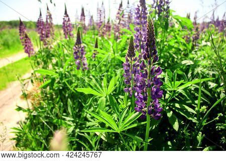 Lupin Spreads Flowers. Lupin Is Blue. Colorful Bouquet Of Lupins Against The Background Of Summer Fl