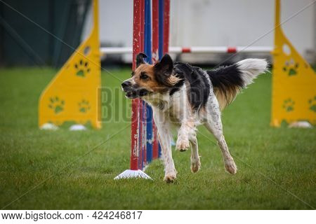 Black And White Bohemian Spotted Dog Is Running In Agility Slalom. Amazing Evening, Hurdle Having Pr