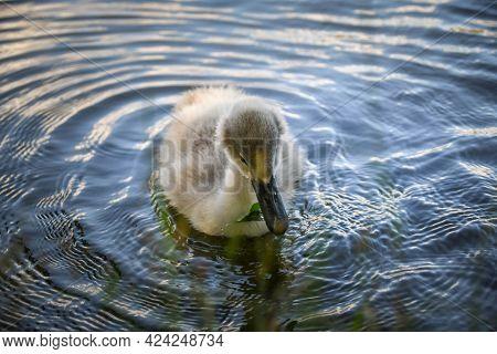 White Swan Flock In Summer Water. Swans In Water. White Swans. Beautiful White Swans Floating On The