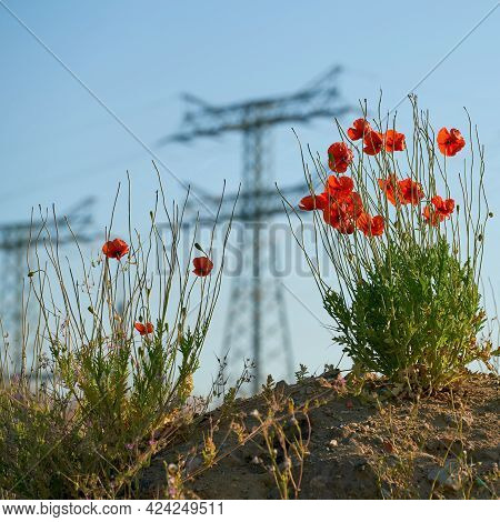 Struggle For Survival Of Poppies On A Rubble Heap In An Industrial Area In Magdeburg, Germany. In Th