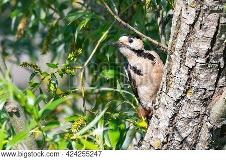 Syrian Woodpecker Dendrocopos Syriacus In The Habitat.
