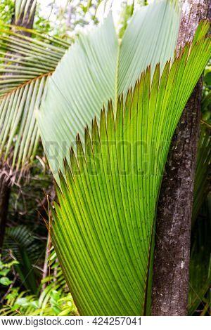 Lantannyen Fey (phoenicophorium Borsigianum, Latanier Palm) Palm Leaf, Endemic Seychelles Species, I