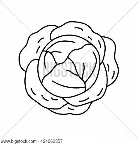 White Cabbage. Vegetable Sketch. Thin Simple Outline Icon. Black Contour Line Vector. Doodle Hand Dr