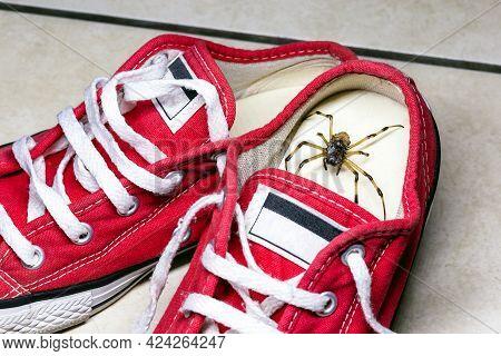 Large Spider Hidden Inside Children's Sneakers, Venomous Animal, Concept Of Arachnophobia And Pest C