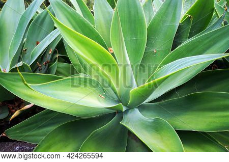 Agave Attenuata (family Agavaceae) growing in Funchal park, Madeira island.