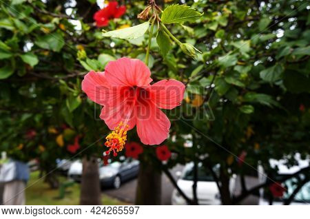 Red flower of Hibiscus (mallow family Malvaceae) growing on street of Funchal, Madeira island.