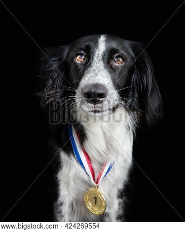 Border Collie Dog Wearing A Winning Prize Golden Medal. Dog Posing With A Medal Or Award. Isolated O