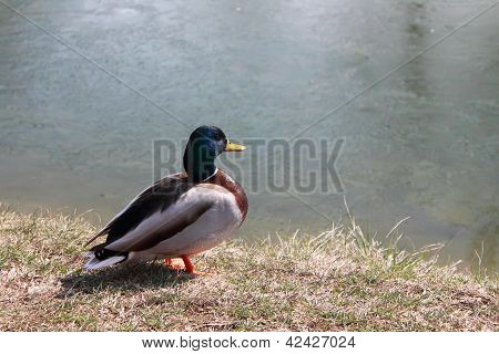 The hungry duck