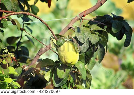Branch Of A Tree With Ripe Quince Fruit And Leaves. The Branch Is Tied