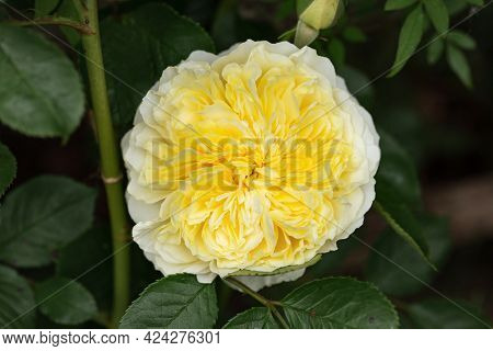 English Climbing Rose The Pilgrim By David Austin In Summer Garden