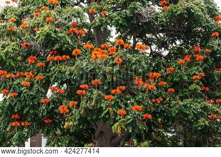Spathodea Campanulata Is Commonly Known As The African Tulip Tree With Red Flowers (family Bignoniac