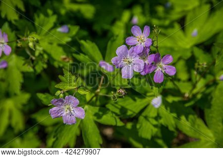 Wild Geraniums Covering The Opened Areas Of The Woodlands Along The Trails Closeup View Of The Flowe