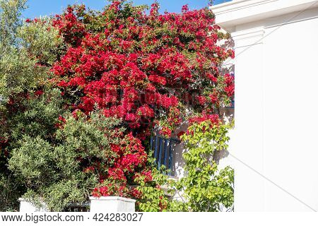 Bougainvillea Blooming On A White House Wall, Greek Cyclades Island, Folegandros, Greece.
