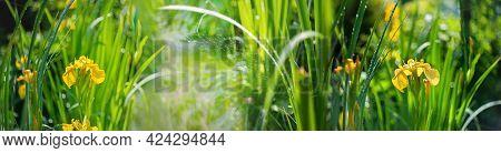 Natural Background Of Yellow Marsh Irises. Yellow Irises Grow In The Swamp. Beautiful Banner Made Of