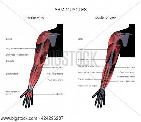 Human Biceps, Triceps Brachioradialis And Other Muscle Of Arms Posterior And Anterior View. Muscular