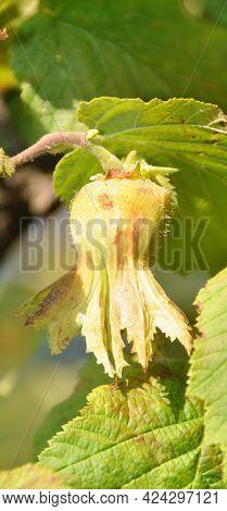 Ripe Green Hazelnut Tree Close Up Detail, Fresh Hazelnuts In The Garden