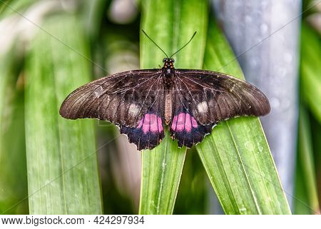 Papilio Anchisiades, Aka Ruby-spotted Swallowtail Or Red-spotted Swallowtail Is A Tropical Butterfly