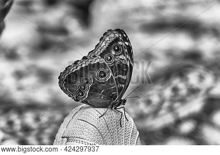 Morpho Peleides, Aka Peleides Blue Morpho Or Common Morpho Is A Tropical Butterfly. Here Showing Und